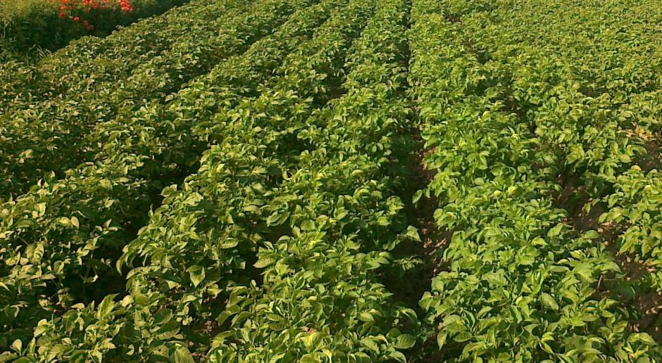 Ziemniak GMO odporny na zarazę