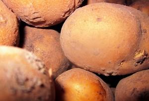 Zgnilizna twardzikowa poraża też ziemniak