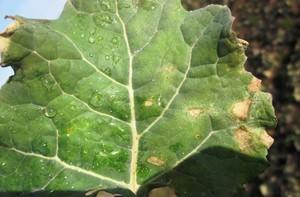 Wiosenne zagrożenie suchą zgnilizną