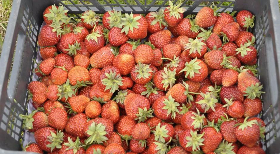 Zwalczanie chwastów na plantacjach truskawek