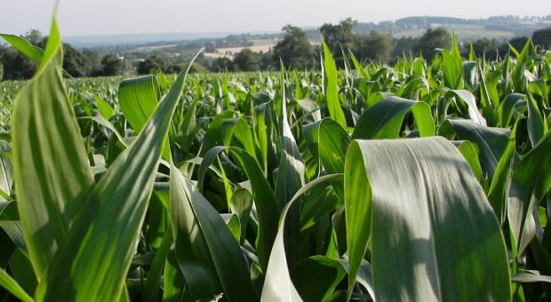 Firma BASF zarejestrowała pierwszy fungicyd w ochronie kukurydzy