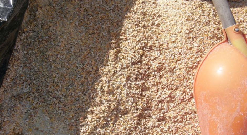 Kiszone ziarno kukurydzy – energia dla krów