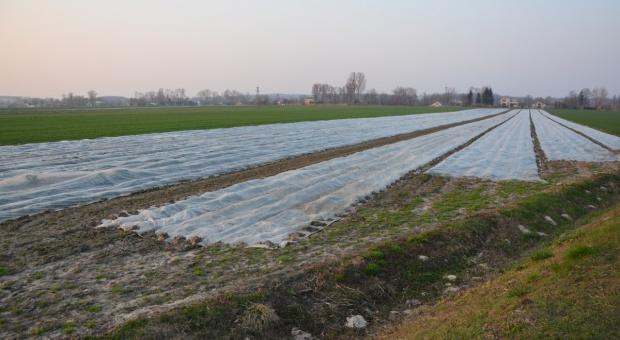 Sterowana produkcja truskawek