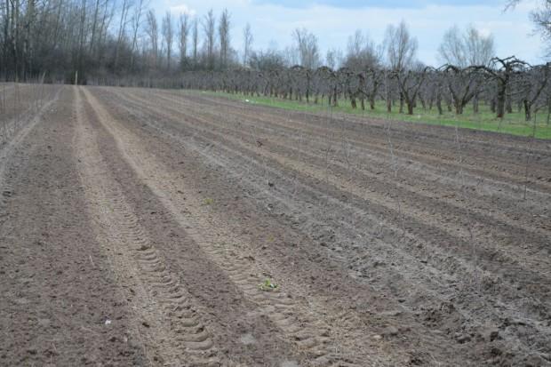 Choroba replantacyjna - problem gospodarstw specjalistycznych
