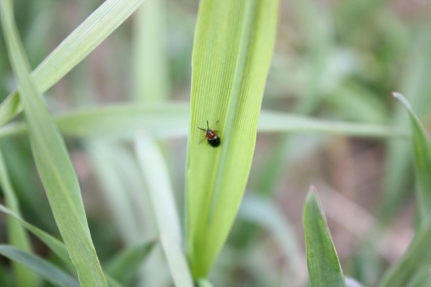 Nieszkodliwy żer chrząszczy skrzypionki