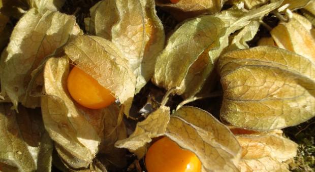 Miechunka w warzywniku