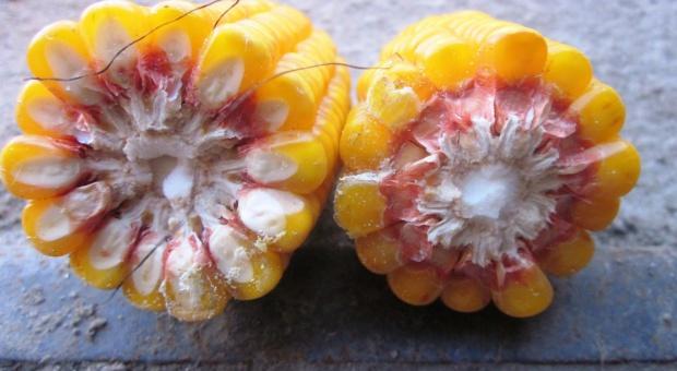 Evalio AgroSystem pomoże w zwalczaniu omacnicy prosowianki