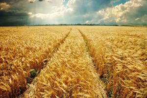 Nowe szczyty notowań zbóż na Matif
