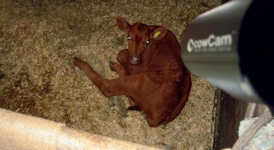 Z kamerą wśród krów