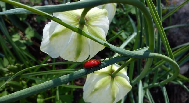 Uwaga na poskrzypkę liliową