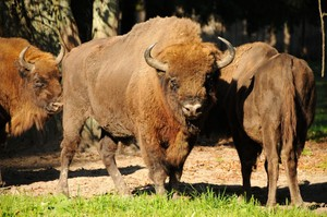 100 hektarów łąk dla białowieskich żubrów