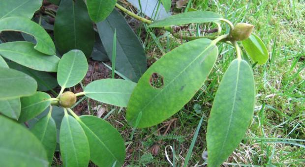 Opuchlak - szkodnik wygryzający dziury w liściach