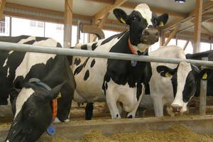 Ocena prawidłowości rozrodu w stadzie bydła