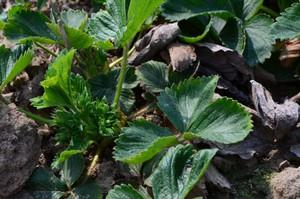 Konieczna lustracja plantacji truskawek