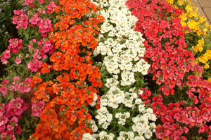 Kwieciste dywany z kwiatów jednorocznych