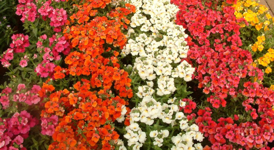 Kwieciste Dywany Z Kwiatow Jednorocznych Inne Uprawy