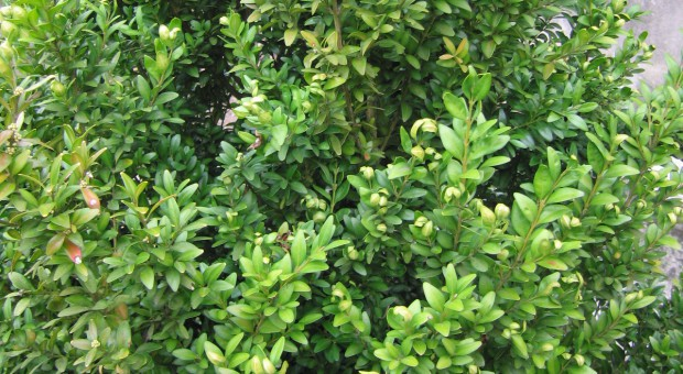 Miodówka - szkodnik na bukszpanie