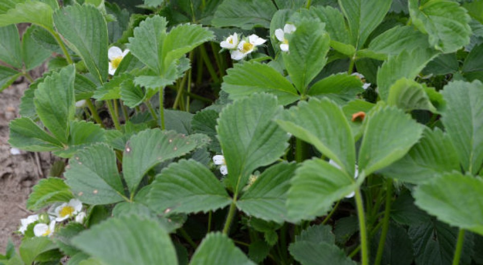 Konieczne zwalczanie białej plamistości liści truskawki