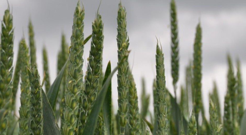 Silne spadki cen zbóż