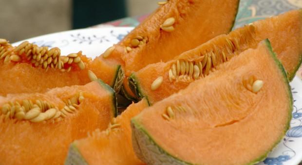 Melon w gruncie