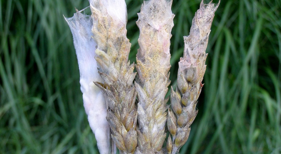 System uprawy gleby a choroby podstawy źdźbła