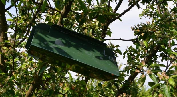 Zwójki liściowe - monitoring sadów jabłoniowych