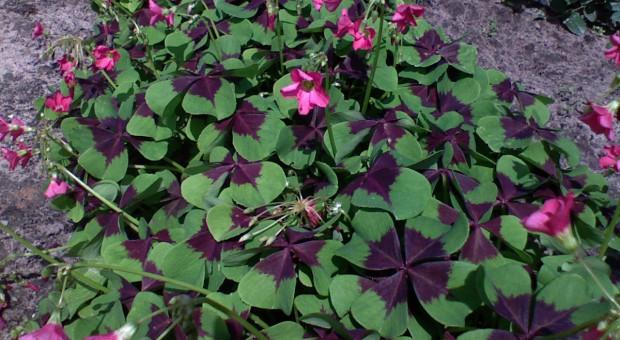 Sadzimy cebule letnich roślin ozdobnych