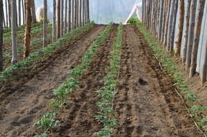 Zaburzenia odżywiania pomidorów pod osłonami