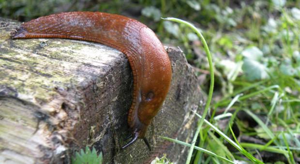Sposoby na żarłoczne ślimaki