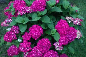 Hortensja ogrodowa – uprawa i pielęgnacja