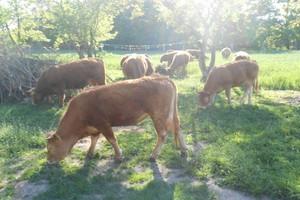 Błotniarka moczarowa niebezpieczna dla bydła
