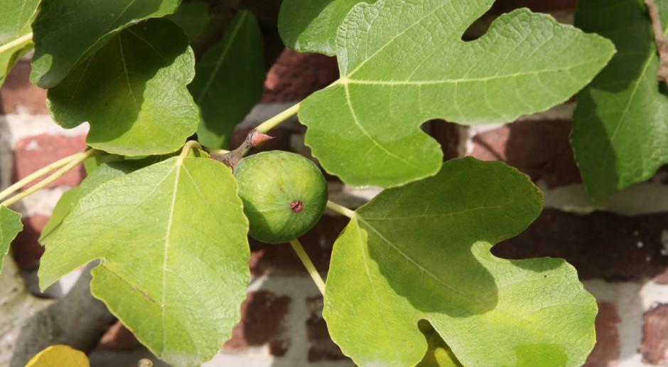 Egzotyczne owoce w domowej uprawie
