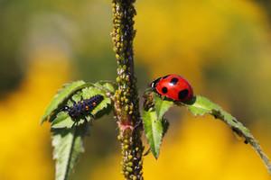 Pożyteczne owady w walce ze szkodnikami