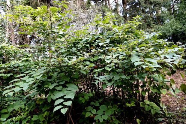 Rośliny inwazyjne w naszych ogrodach