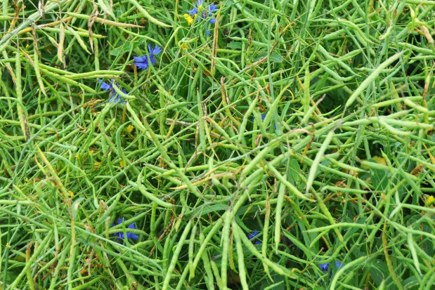 Grzyby na łuszczynach i nasionach