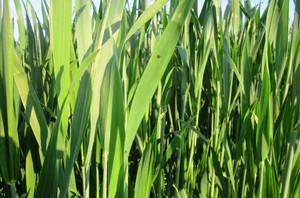 Ochrona górnych liści pszenicy ozimej
