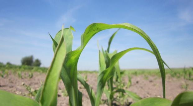 Pogłówne nawożenie kukurydzy