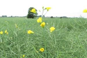Pasze rzepakowe szansą na lepszą opłacalność produkcji drobiarskiej