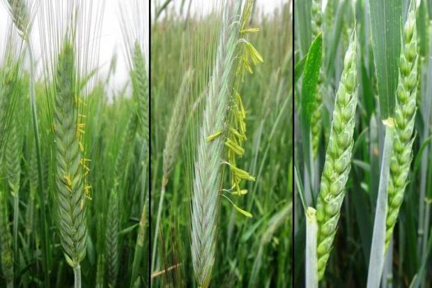 Czy można wykonywać opryski podczas kwitnienia zbóż?