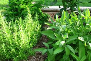 Jak prawidłowo suszyć zioła