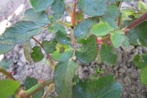 Uwaga na czarną plamistość róży