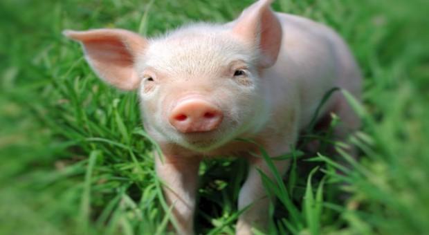 Rosja chce wznowić import wieprzowiny z Polski