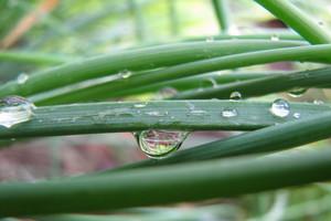 Uwaga na mączniaka rzekomego na cebuli