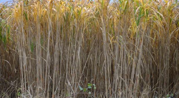 Pnącza i trawy na żywopłot