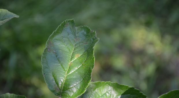 Fosforyny wspomagają  ochronę przed parchem jabłoni