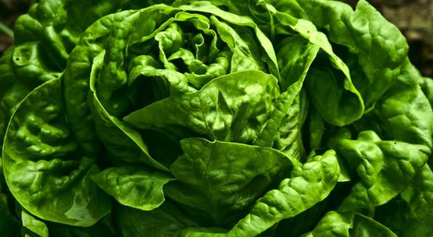 Poplonowa uprawa sałaty