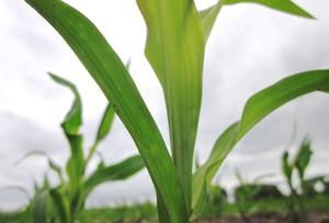Stonka kukurydziana skreślona z listy szkodników kwarantannowych