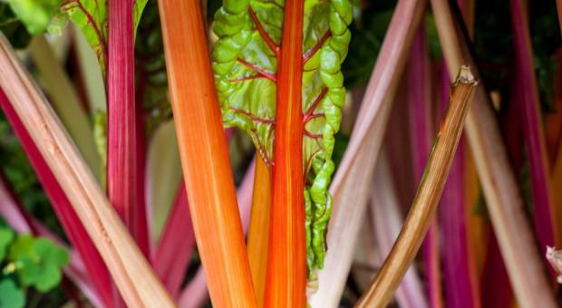 Poplonowa uprawa buraka liściowego