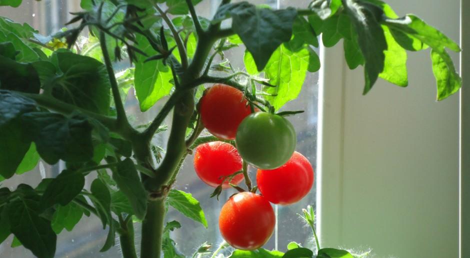 Uprawa pomidorów – cięcie