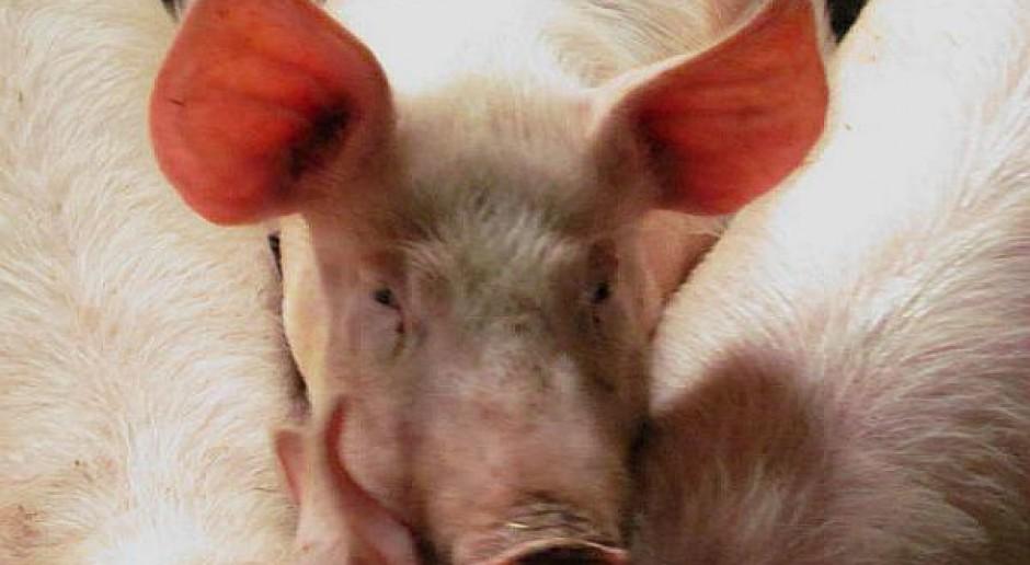 Ziarno kukurydzy w żywieniu świń